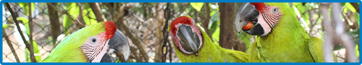 Saving the Great Green Macaw