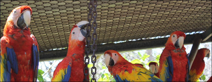 Scarlet Macaw pair bonding cage