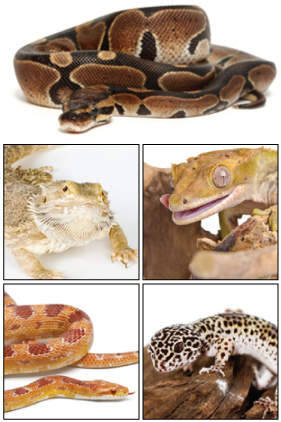 Top 5 Herps for Beginners: Ball phython, Crested gecko, Bearded dragon, corn snake