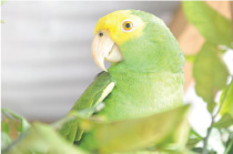A Yellow-headed Amazon living in the wild can live up to 80 years. Captive ones generally live 1 to 5 years due to malnutrition, neglect, and indifference.